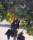 Specialists in vines for red and white wines and table grapes