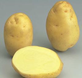 Bintje variety potato