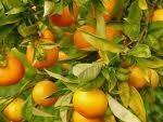 Oranges clementine