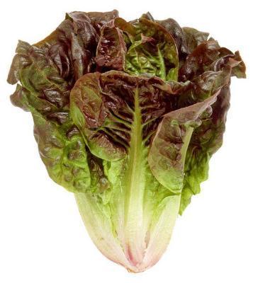 Cresta variety lettuce