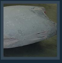 Frozen tuna
