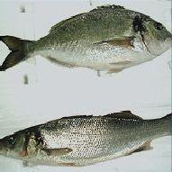 Reared bream and sea bass