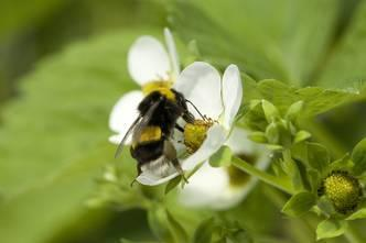 Pollination of Bumblebees