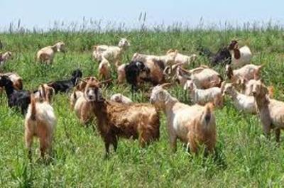 Goat, fresh meat.