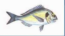Fresh or refrigerated seabream