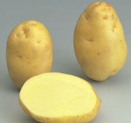 Bintje variety potato