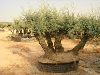 Young olive plants and ancient olive trees