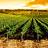 Vines, planting shoots
