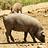 Living animals: hogs